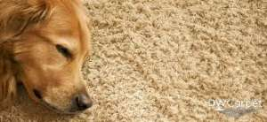 Pet-Carpet-Dw-carpet-cleaning-Singapore_wm